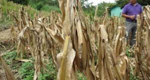 Más de 200 mil hectáreas de sorgo, cártamo, maíz y otros cultivos en riegso por falta de lluvias.