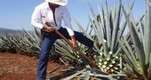 Los productores denuncian que los tequileros buscan monopolizar las bebidas destiladas del agave.