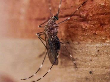 El mosquito Culex prolifera especialmente en áreas urbanas con carencias en sus infraestructuras de saneamiento básico.