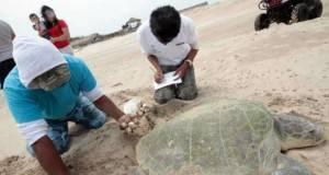 LA TORTUGA lora adelantó su llegada a las playas del poblado La Pesca.
