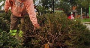 En marcha la recolección de pinos naturales en Matamoros.